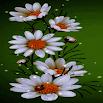 White Flowers Beauty LWP 3