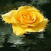Yellow Rose Swing LWP 3