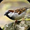 Sparrow Sounds 1.0